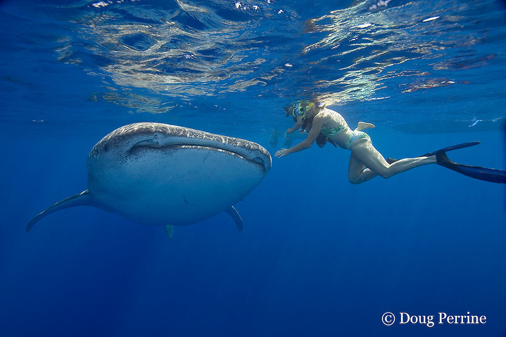 woman introduces child to a friendly whale shark, Rhincodon typus, Kona Coast, Hawaii Island ( the Big Island ), Hawaiian Islands, USA ( Central Pacific Ocean ) MR 360, 361