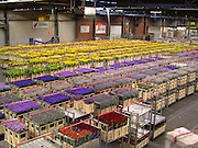 The Unique Flower Auction at Aalsmeer<br /> <br /> The Aalsmeer Flower Auction or Bloemenveiling Aalsmeer in Dutch, takes place in the town of Aalsmeer in North Holland near Amsterdam Schiphol Airport, and is by far the busiest and largest floral market in the world. Everyday 20 million flowers arrive here from all over the world. Whilst a large majority of the flowers sold here are from the Netherlands, many come from far off places like Ecuador, Colombia, Ethiopia, and Kenya. The warehouse itself, where the trading takes place, is the largest building by footprint in the world, covering 518,000 square meters or 243 acres.<br /> Flowers arrive the night before the auction, at around 10 PM, and are cooled and sorted during the night. The auction starts early morning. Carts of flowers are presented to the buyers, one at a time, while they bid on them. The flowers get bought and distributed almost immediately. By late afternoon, all the flowers will have moved out and the warehouse prepared for the next round.<br /> Flowers in Aalsmeer are sold using the infamous Dutch auction system. The price is set high and a clock starts ticking down from 100. As time falls, so does the price of the cart. The first person to make a bid gets the cart. Anyone buying too fast risks overpay, but those waiting too long for the price to drop may go home empty handed. This unique system was invented in the 17th century for selling Dutch tulip bulbs, and is based on a pricing system devised by Nobel prize winning economist William Vickrey. The ingenuity of the Dutch auction ensures that flowers are sold off quickly while extracting the highest price out of the dealer who wants the lot the most.<br /> The bidding process can be seen on the large screens inside the auction room. Visitors are allowed but neither them nor buyers can get close to the flowers. The most interesting aspect of the Aalsmeer flower market is seeing the logistics in action, rather than admiring flowers up close. The 