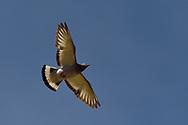Hill Pigeon or Eastern Rock Dove or Turkestan Hill Dove (Columba rupestris) bird breeding at the Taoist Tian Feng Ling Temple, Beiyue Hengshan Mountain, Datong, Hunyuan County, Shanxi Province, China