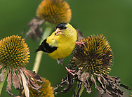 American Goldfinch, Carduelis tristis, Dining On Cone Flower Seeds, Echinacea