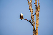 African fish eagle,Africa,African,Eagle,Fish Eagle,eagles,bird of prey,Haliaeetus vocifer,perched,perch,perching,branch,tree,endemic,blue sky,animal,animals,wildlife,Nature,Lake Kariba,Zimbabwe,wild,outdoor,large,beautiful,blue,predator,southern africa,carnivore,avian,old world,fauna,raptor,ornithology,bird watching,accipitridae,accipitriformes,bird,birds,day,freshwater,haliaeetus,nobody,protected area,reserve,river eagle,sea eagle,water,waterhole,ebartov
