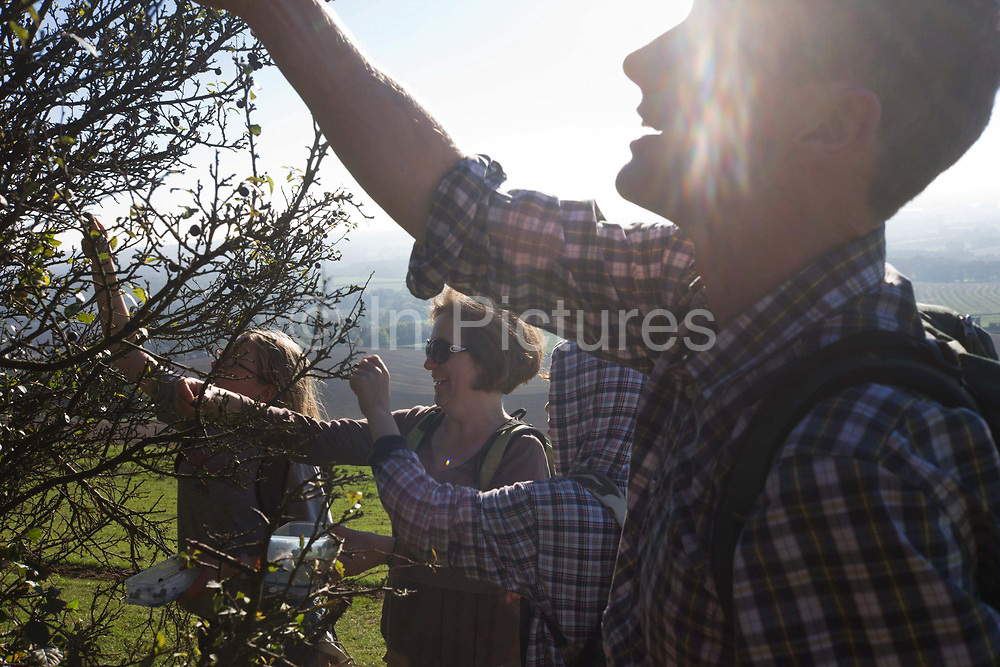A family collect sloe berries from bush in Kent countryside. Reaching up into the prickly twigs and with strong sun shining into the image, creating a refracted pattern on a man's face in the foreground, we see four members of the family picking the berries in the autumn. They are high on an escarpment, above the Kent countryside whose fields can be seen below. The mother laughs, the daughter reaches high and the boy wears a cheque-patterned hoodie - the favoured clothes of some teenagers. It is a happy family picture as they enjoy the great outdoors after a walk through nearby country.