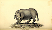 Sukotyro, a legendary creature, from General zoology, or, Systematic natural history Part I, by Shaw, George, 1751-1813; Stephens, James Francis, 1792-1853; Heath, Charles, 1785-1848, engraver; Griffith, Mrs., engraver; Chappelow. Copperplate Printed in London in 1800. Probably the artists never saw a live specimen