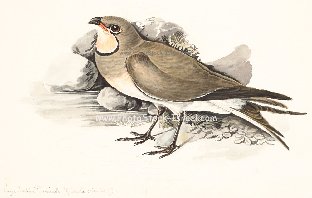 The oriental pratincole (Glareola maldivarum), also known as the grasshopper-bird or swallow-plover, is a wader in the pratincole family, Glareolidae. 18th century watercolor painting by Elizabeth Gwillim. Lady Elizabeth Symonds Gwillim (21 April 1763 – 21 December 1807) was an artist married to Sir Henry Gwillim, Puisne Judge at the Madras high court until 1808. Lady Gwillim painted a series of about 200 watercolours of Indian birds. Produced about 20 years before John James Audubon, her work has been acclaimed for its accuracy and natural postures as they were drawn from observations of the birds in life. She also painted fishes and flowers. McGill University Library and Archives