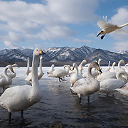 Whooper swans (Cygnus cygnus) on Lake Kussharo, Hokkaido, Japan.