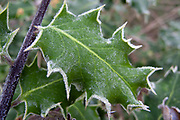 Frosted holly, autumn<br /> *ADD TO CART FOR LICENSING OPTIONS*