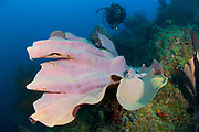 Purple Elephant ear sponge (Ianthella basta) with diver, Restorf Island, Kimbe bay