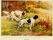 A pack of Setters From the book ' English sport ' by Alfred Edward Thomas Watson, Published in London by Macmillan and Co. Limited and in New York by Macmillan Company. in 1903