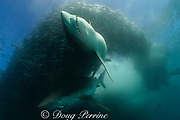 copper sharks or bronze whalers, Carcharhinus brachyurus, feeding in baitball of sardines or pilchards, Sardinops sagax, along with bonito, Euthynnus affinis, releasing a cloud of fish scales and blood, the Wild Coast, Transkei, South Africa (Indian Ocean)
