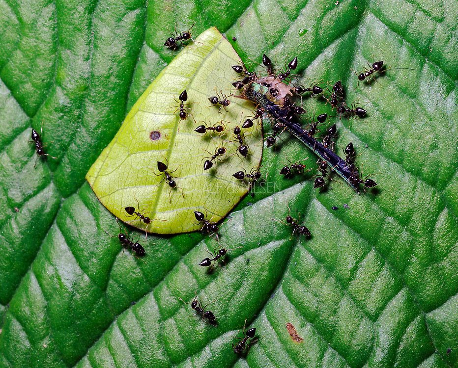 Saint Valentine ants (Chromogaster sp.) have attacked and killed a damselfly in the rainforest at LaSelva, Ecuador.