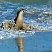 Seals and Sea Lions Kangaroo Island Wildlife South Australia