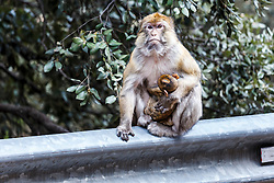 Female Barbary macaque  with baby on highway guardrail, (Macaca sylvanus), Middle Atlas Mountains, Morocco