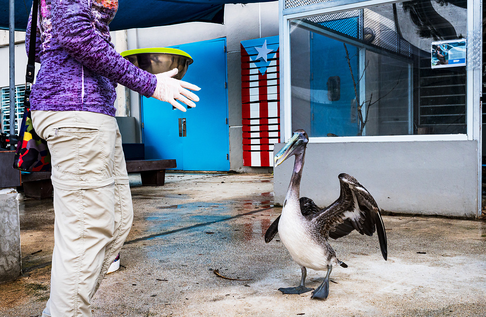 A volunteer feeds injured pelicans at the Manatee Conservation Center in Puerto Rico.