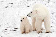 Female polar bear and cub near Hudson Bay  Ursus maritimus, Hudson Bay, Canada