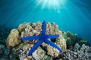 Blue Sea Star (Linckia laevigata)<br /> on coral reef<br /> Fiji. South Pacific