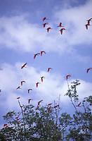 Corocoros volando, Eudocimus ruber, Guanarito, Estado Portuguesa, Venezuela