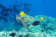 green sea turtle, Chelonia mydas ( Threatened Species ) being cleaned of algae by yellow tangs, Zebrasoma flavescens, and goldring surgeonfish, or kole tang, Ctenochaetus strigosus, with school of palani or eyestripe surgeonfish, Acanthurus dussumieri, in background, South Kohala, Kona, Hawaii ( Central Pacific Ocean )