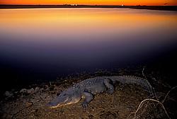 Stock photo of an alligator at sunrise.