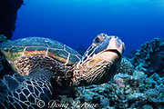 green sea turtle, Chelonia mydas, resting on bottom, <br /> Turtle Pinnacle, Honokohau, Kona, Hawaii, United States ( Central Pacific Ocean )