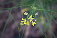 This attractive yellow non-native member of the mustard family is originally from Europe and North Africa, but is commonly found  nearly everywhere in North America, with the exception of Alabama and Labrador. This one was found growing in the rural sagebrush desert area between Yakima, Washington and the Cascade Mountains.