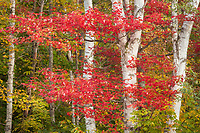Peak autumn reds grace the delicate trunks of a white birch in Groton State Forest, Vermont