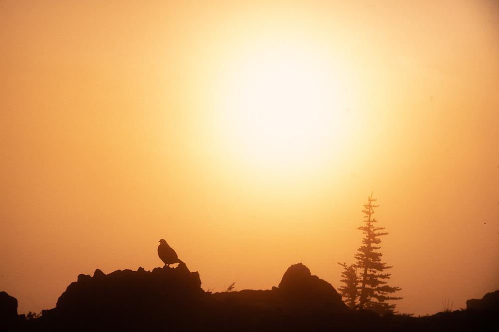 Grouse in fog at  sunrise, Olympic National Park, Washington, USA