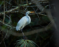 Great Egret perched on a branch in Big Cypress Swamp. Image taken with a Nikon Df camera and 400 mm f2.8 lens (ISO 800, 400 mm, f/4, 1/640 sec).