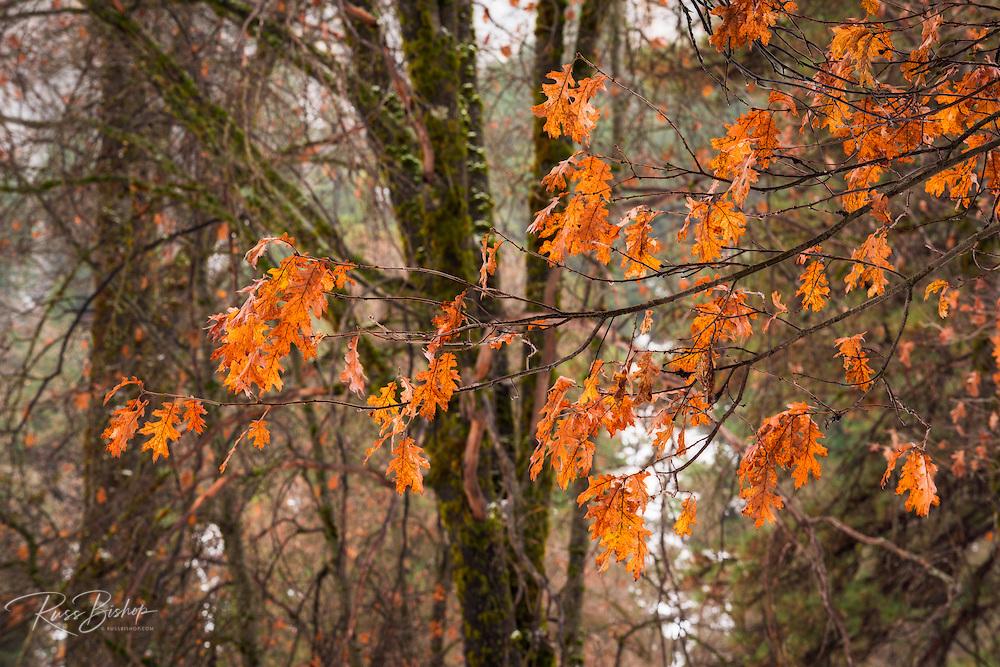 Black oak leaves in winter, Yosemite Valley, Yosemite National Park, California