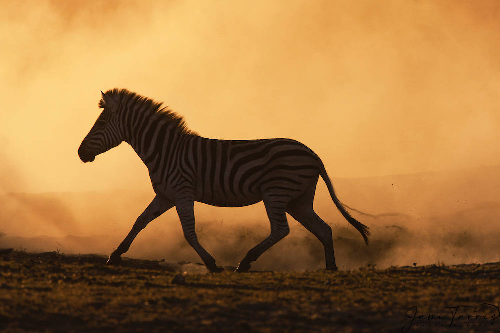 A silhouette of a Burchell's zebra (Equus quagga) in motion, running at sunset, Botswana, Africa