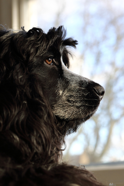 Henry, our blue roan cocker spaniel puppy is now almost 8 months old. He likes to look out of the window, looking pensive.