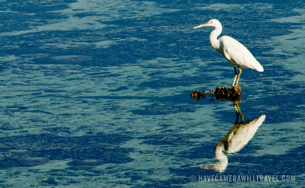 A heron perched on an exposed piece of coral in Lady Elliot Island's expansive lagoon.