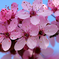 Spring brings the arrival of Cherry blossoms in Brussels