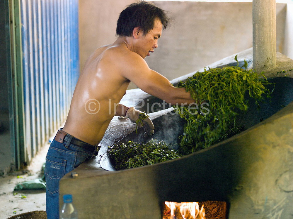 Chinese worker Ah Ty heats the tea leaves in a wok, stirring by hand, Ban Komaen, Phongsaly province, Lao PDR. The leaves are then spread out on a bamboo platter and crushed by rolling them. They are then left to dry in the fresh air. To make the tea cigars, the dried leaves are steam heated and stuffed into a hollow bamboo stick which is 20 to 30 cm long. After cooling down, the leaves are taken out and are in a cigar shape which is then bound with a bamboo band.