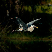 Great Blue Heron (Ardea herodias) In flight near rookery. Breeding plumage. Southwest Florida.