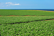 Potatoe field and iron rich red soil<br /> Cape Tryon<br /> Prince Edward Island<br /> Canada