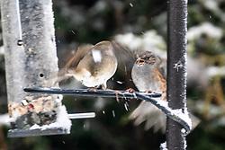 08FEB21 A robin and sparrow in the garden this morning, Denny, Scotland.