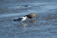Herring Gull (Larus argentatus) first cycle juvenile with adult, Crescent Beach, Nova Scotia, Canada