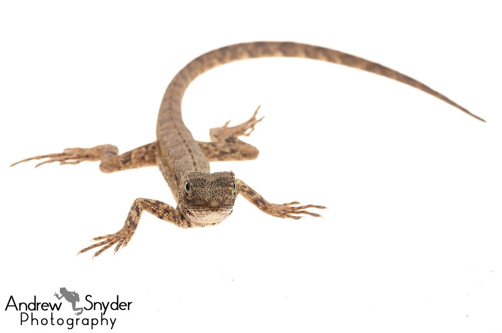 Mop-headed tree lizard, Uranoscodon superciliosus, Iwokrama, Guyana, July 2013