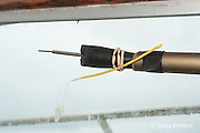 tagging pole with spaghetti tag aboard Reel Addiction, Vava'u, Kingdom of Tonga, South Pacific