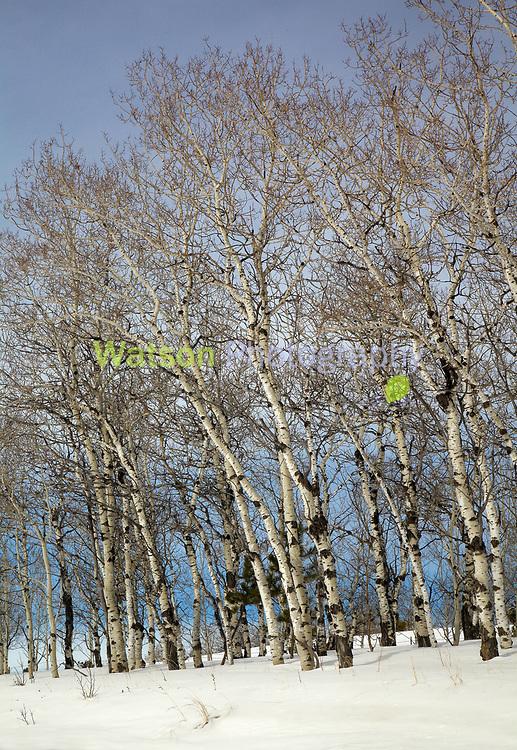 Aspen Winter Woods