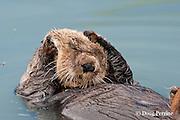sea otter, Enhydra lutris ( Endangered Species ), with appearance of a bad hangover, Valdez, Alaska ( Prince William Sound )