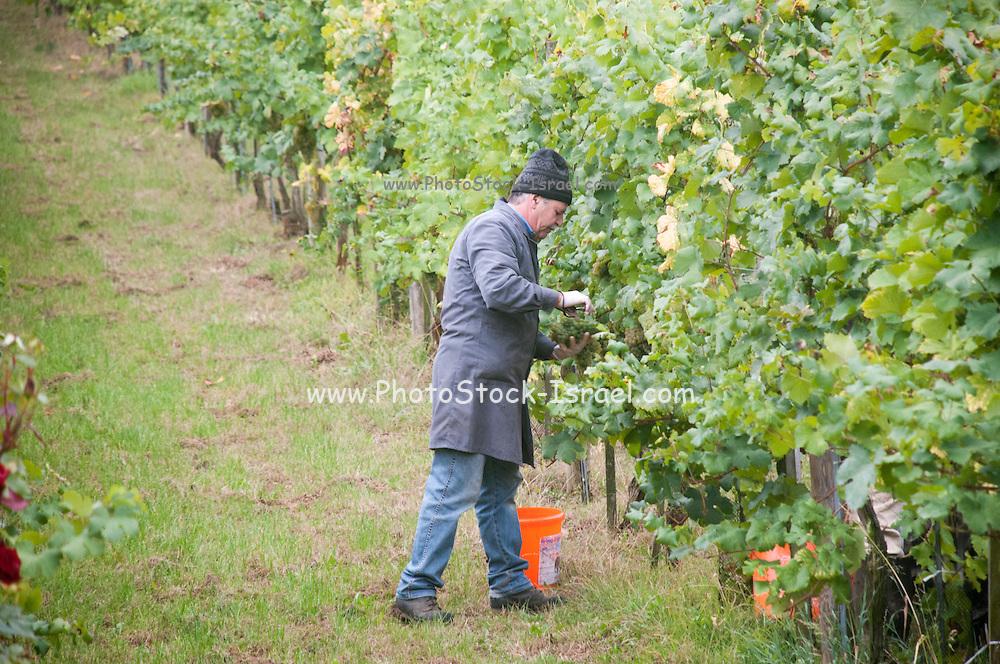 Picking grapes in a vineyard, Wachau Valley, Austria