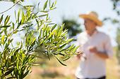 La Creole Olive Ochards