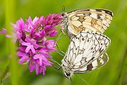 Marbled white butterflies (Melanargia galathea) mating on pyramidal orchid. Nr. Dorking, Surrey, UK.