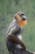 Weeper Capuchin (Cebus nigrivittatus)