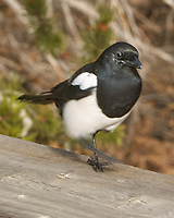 Black-billed Magpie (Pica hudsonia). Rocky Mountain National Park. Image taken with a Nikon D2xs camera and 200-400 mm f/4 VR lens.