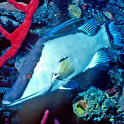 Hogfish most commonly over open bottoms of sand and rubble, occasionally over reefs in Tropical West Atlantic; picture taken Grand Cayman.