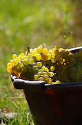 Hand picked grapes, chenin blanc. Chateau de Passavant, Anjou, Loire, France