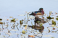 A male Wood Duck (Aix sponsa) perched on a tree stump at Burnaby Lake in Burnaby, British Columbia, Canada.  Photographed at Burnaby Lake Regional Park.
