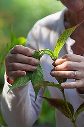Taking greenwood cuttings from Hydrangea serrata 'Diadem'. Showing bendy stem